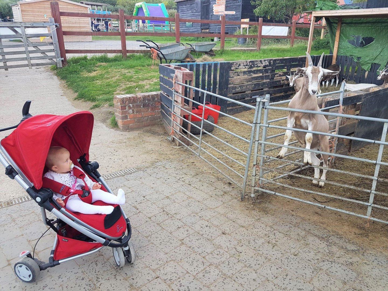 Kent Life farm goats