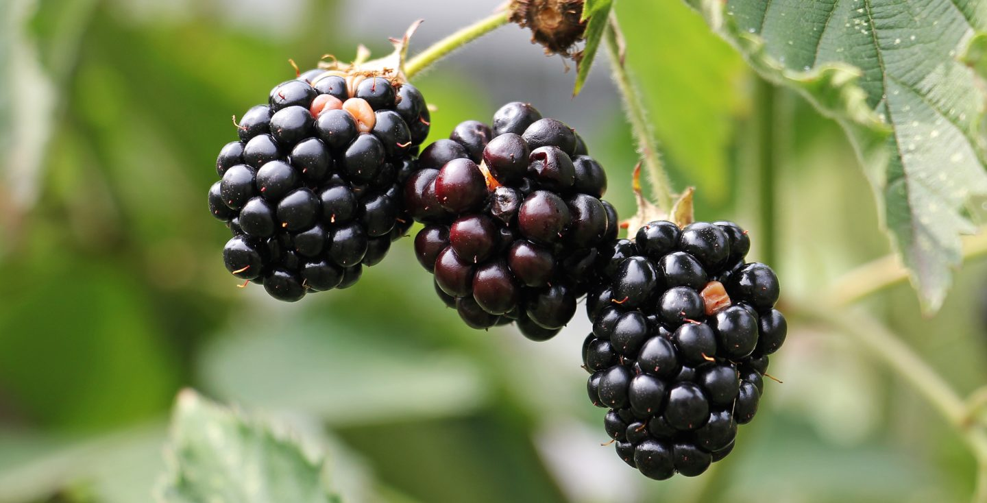 blackberries-bramble-berries-bush