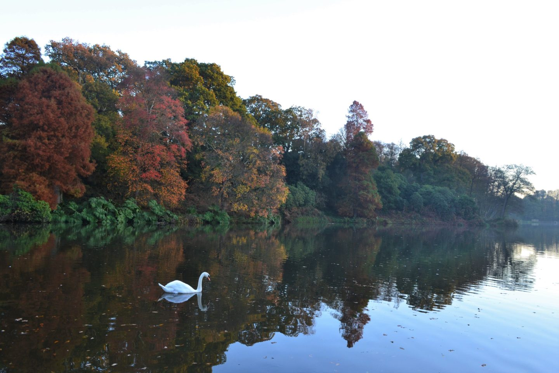 Swan Sheffield Park