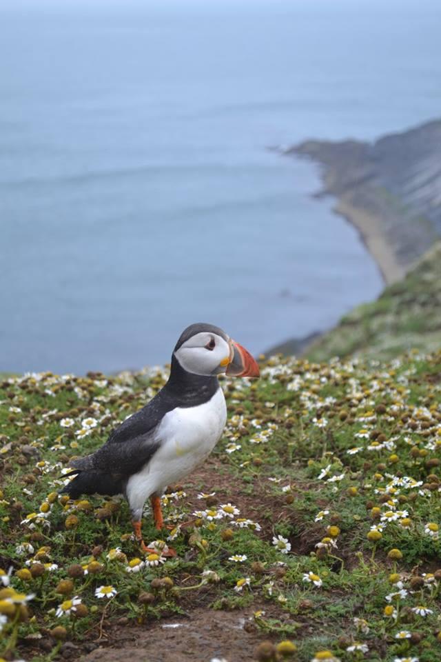 Puffin, Skomer Island, Pembrokeshire