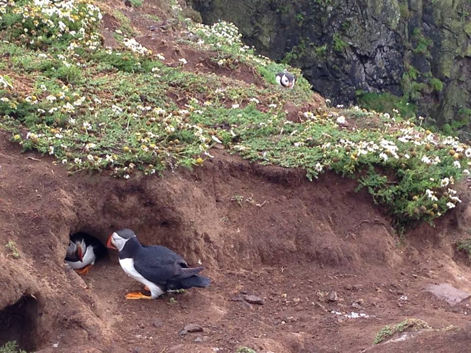 Puffins in burrows, Skomer Islan