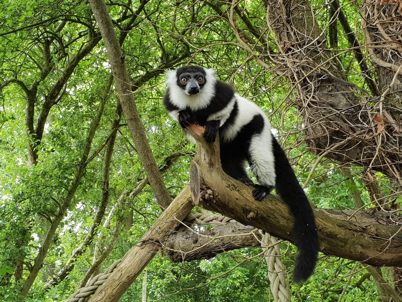 Lemur at Howletts Wildlife Park in Canterbury, Kent