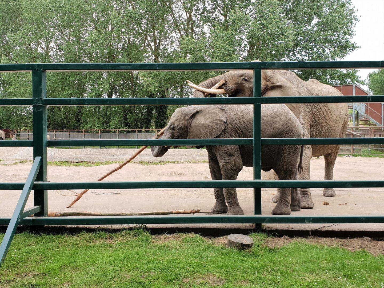 Elephants at Howletts Wild Animal Park, Canterbury, Kent