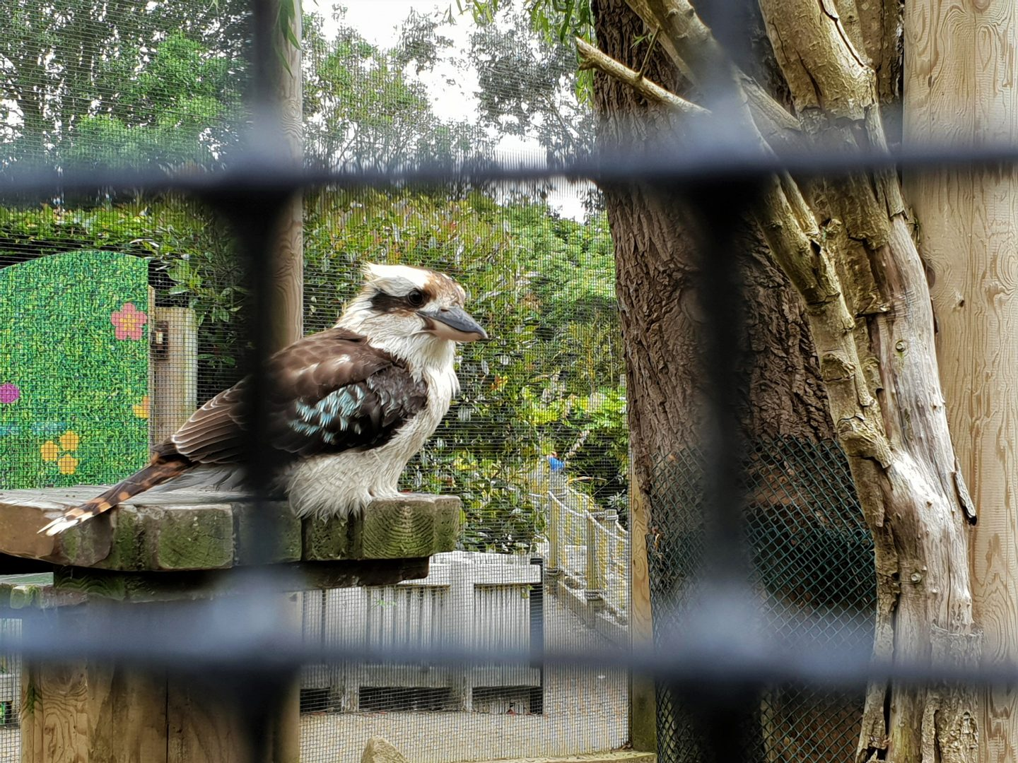 Kookaburra at Drusillas Park