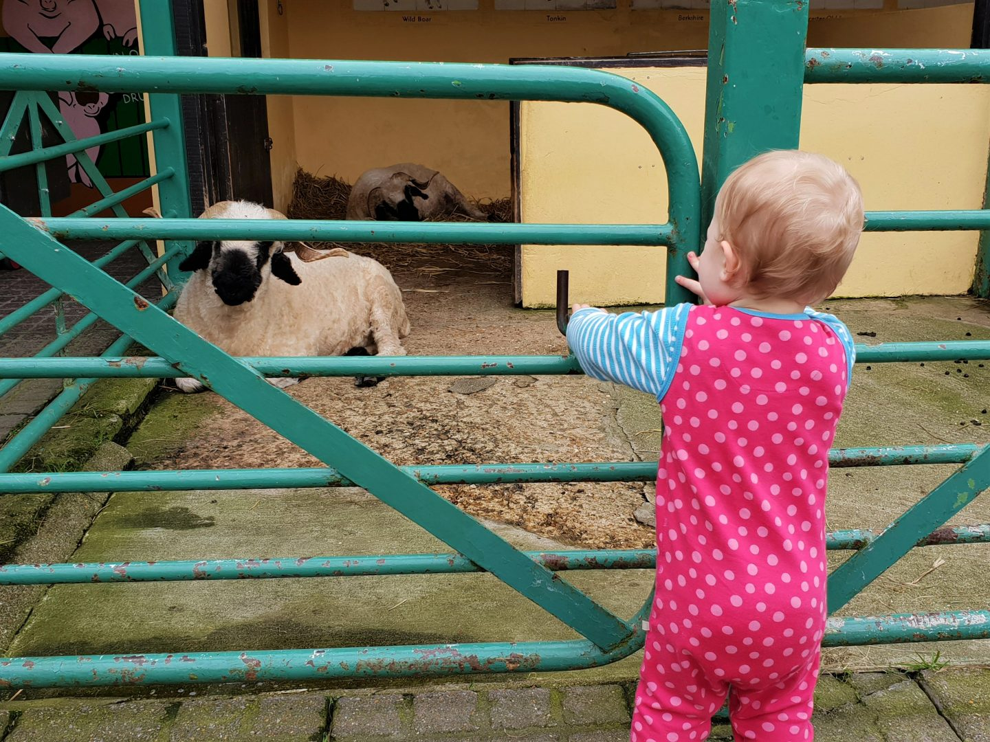 Toddler and sheep at Drusillas Park