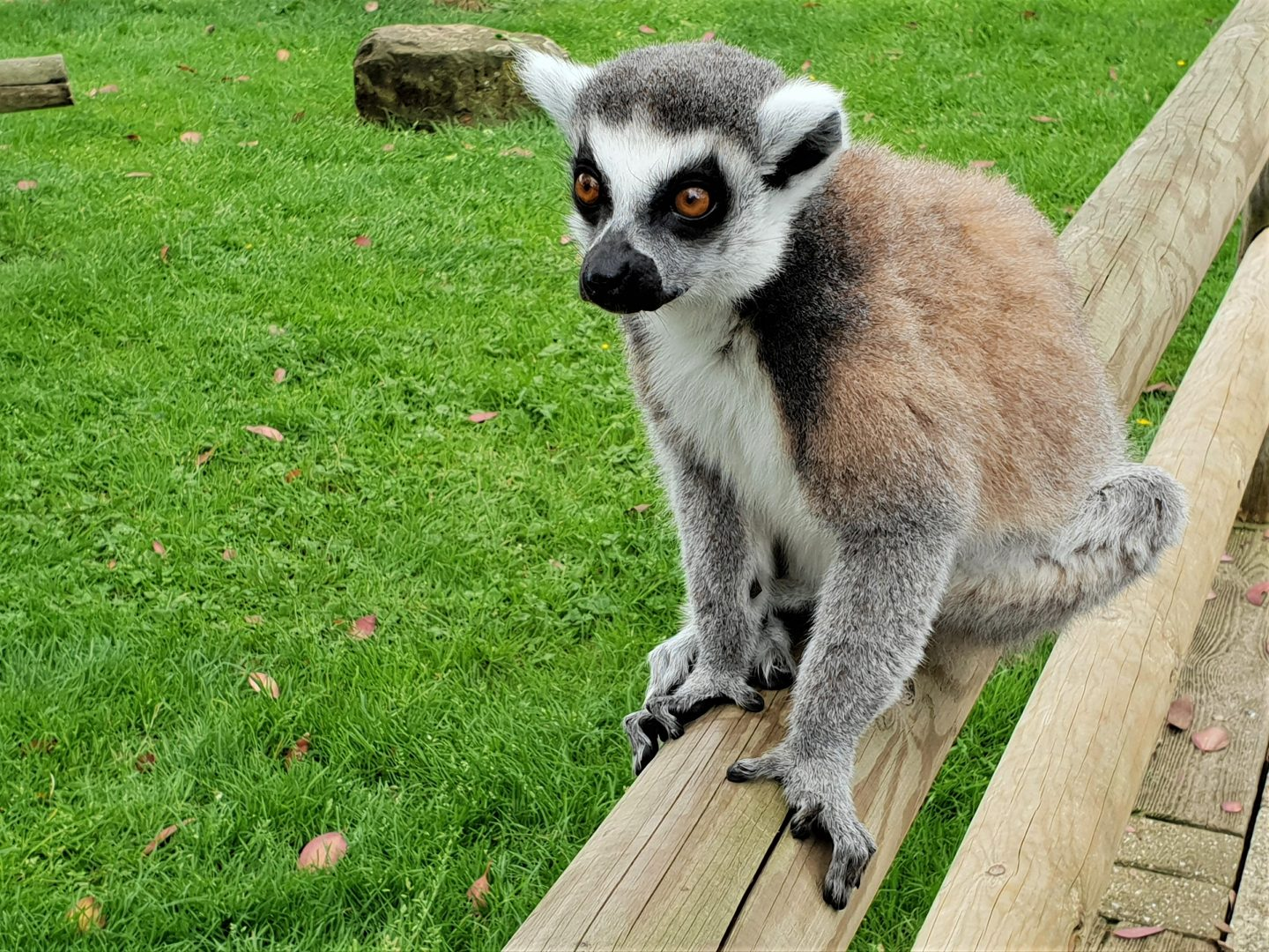 Lemur in Lemurland at Drusillas Park, East Sussex
