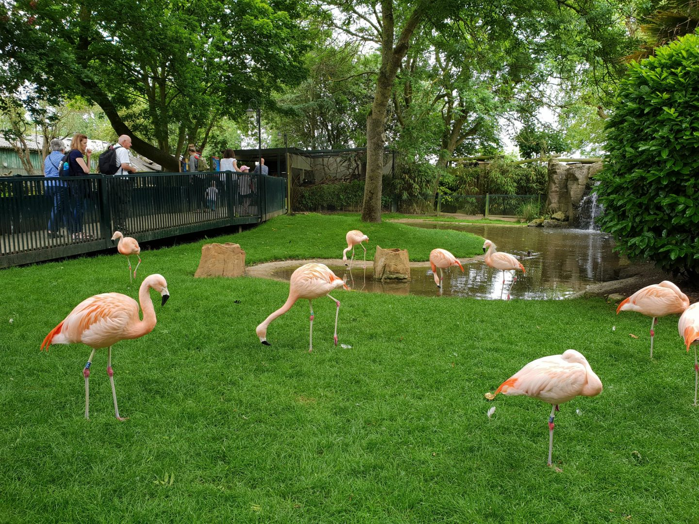 Flamingos at Drusillas park
