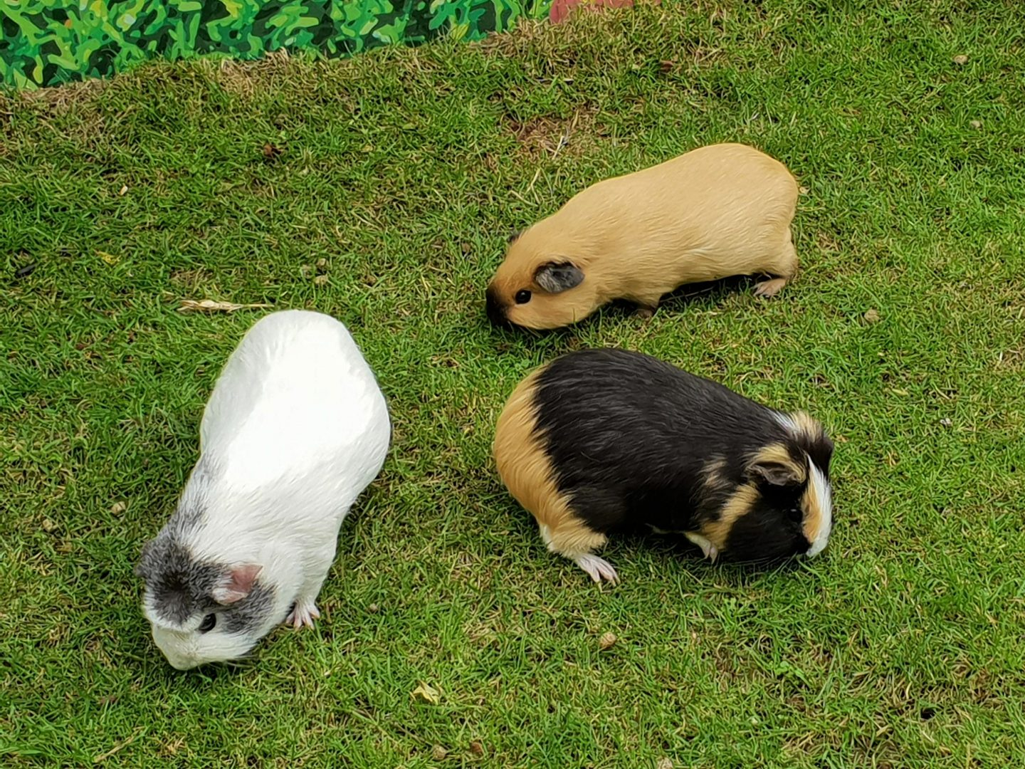 Guinea pigs at Drusillas Park