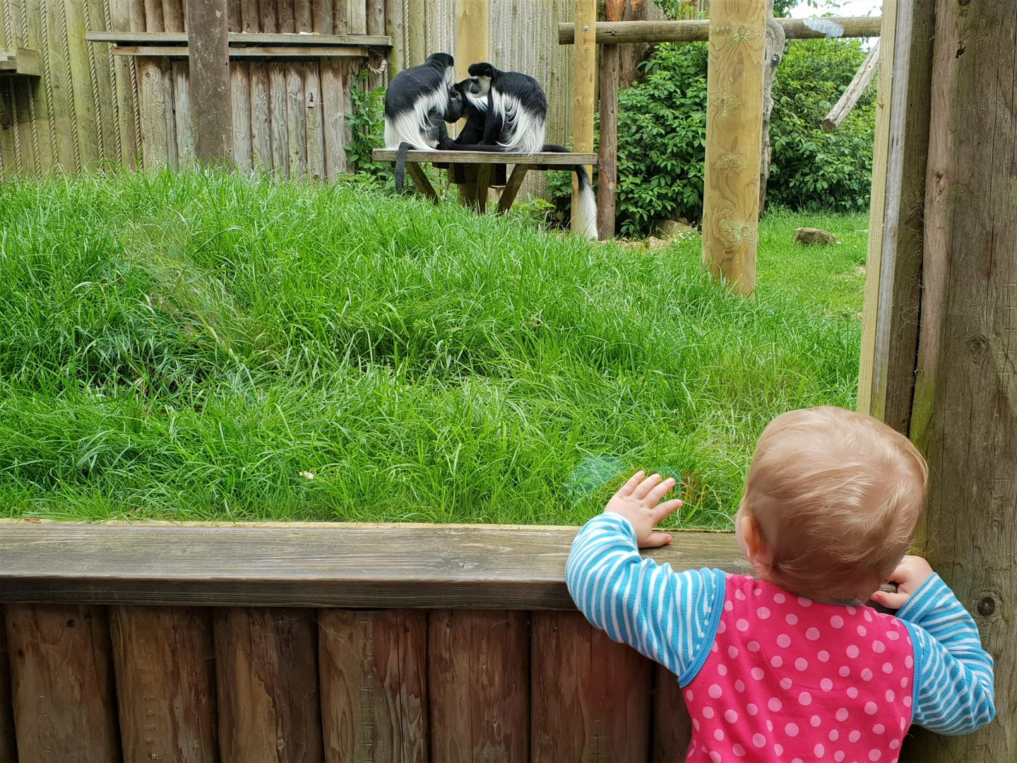 Toddler admiring Colobus monkeys at Drusillas Park