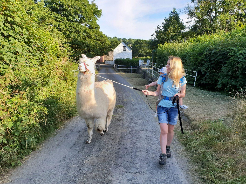 Llama Trekking with Macsen of Pembrokeshire Llamas
