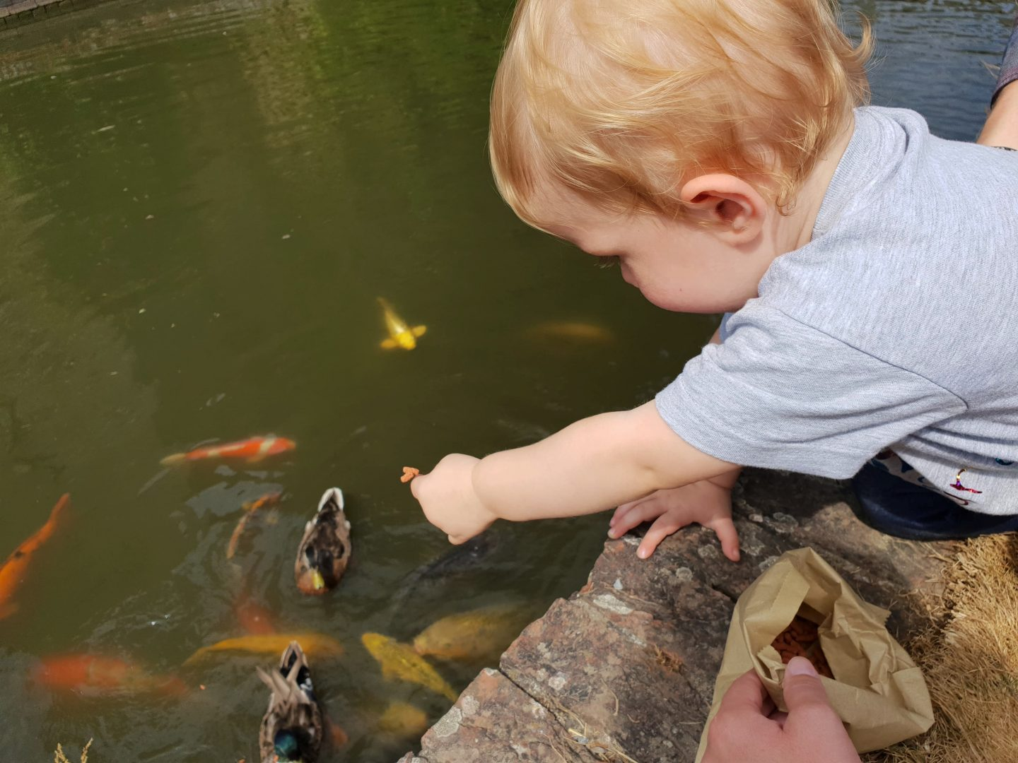 Feeding Koi fish in the moat at Hever Castle