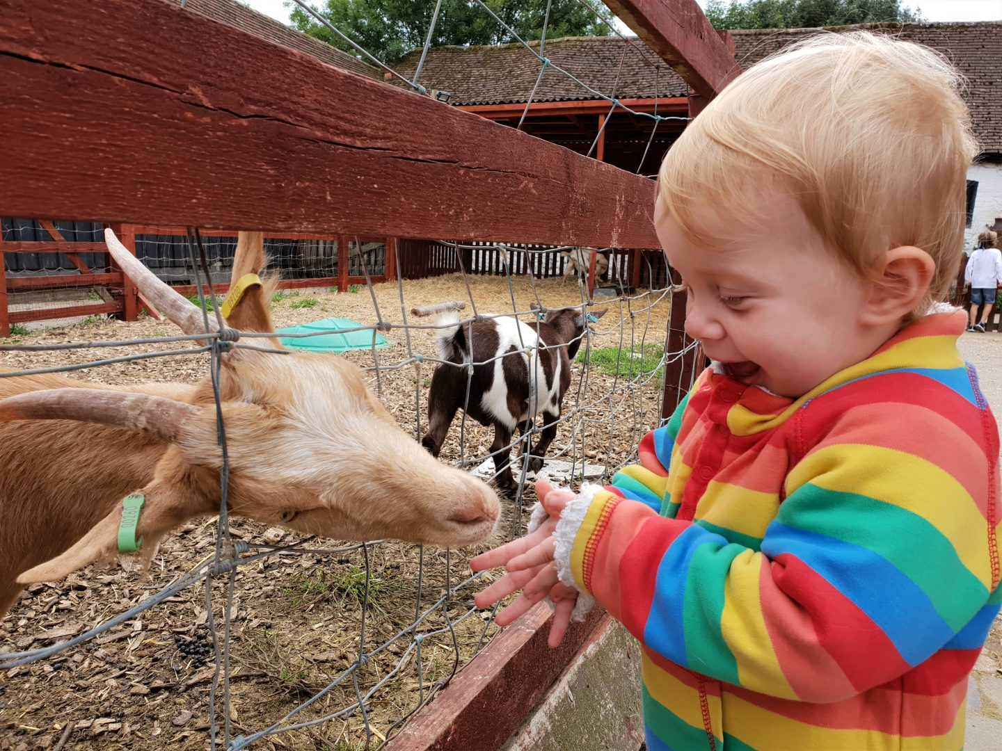 Toddler and goat at Kent Life, Maidstone