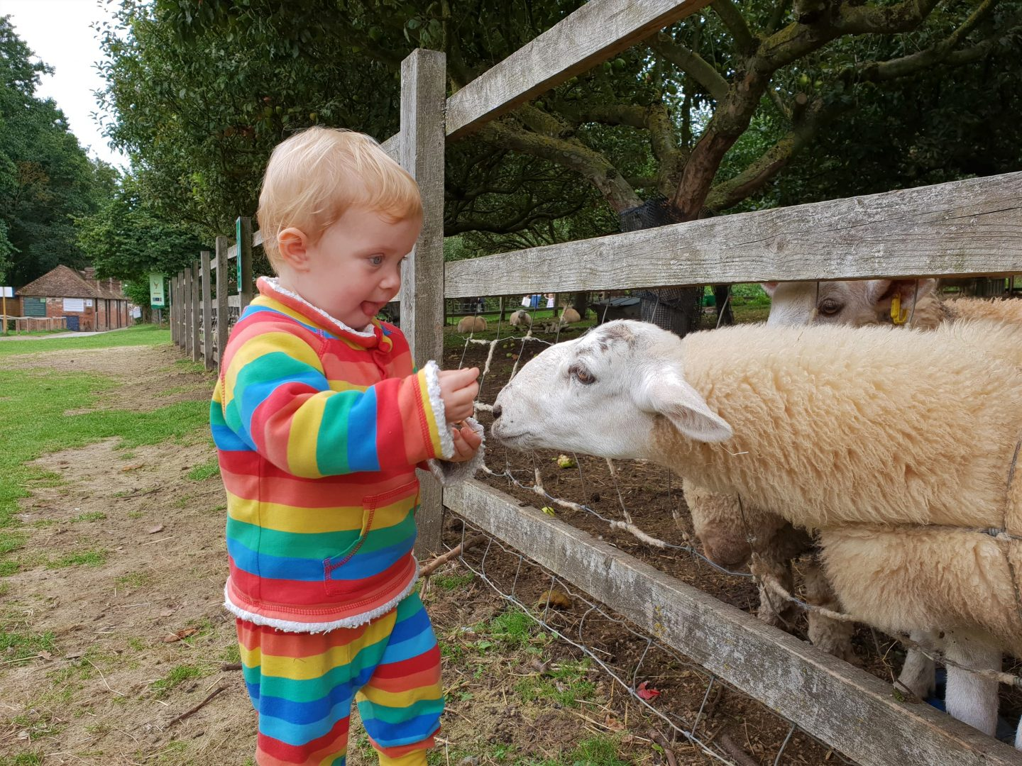 Toddler feeding sheep at Kent Life, Maidstone
