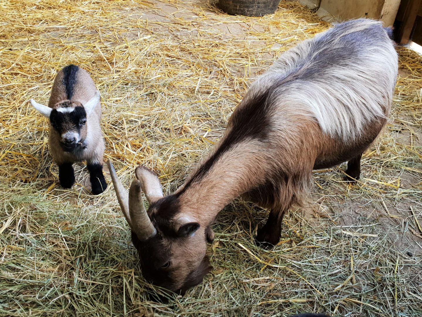 Baby goats at Healey's Cornish cyder farm