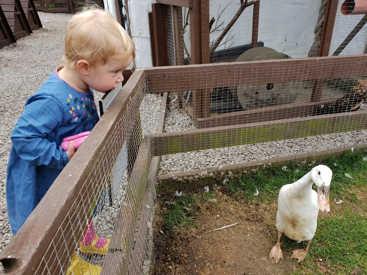 Toddler looking at ducks, Greeb Farm, Land's End, Cornwall