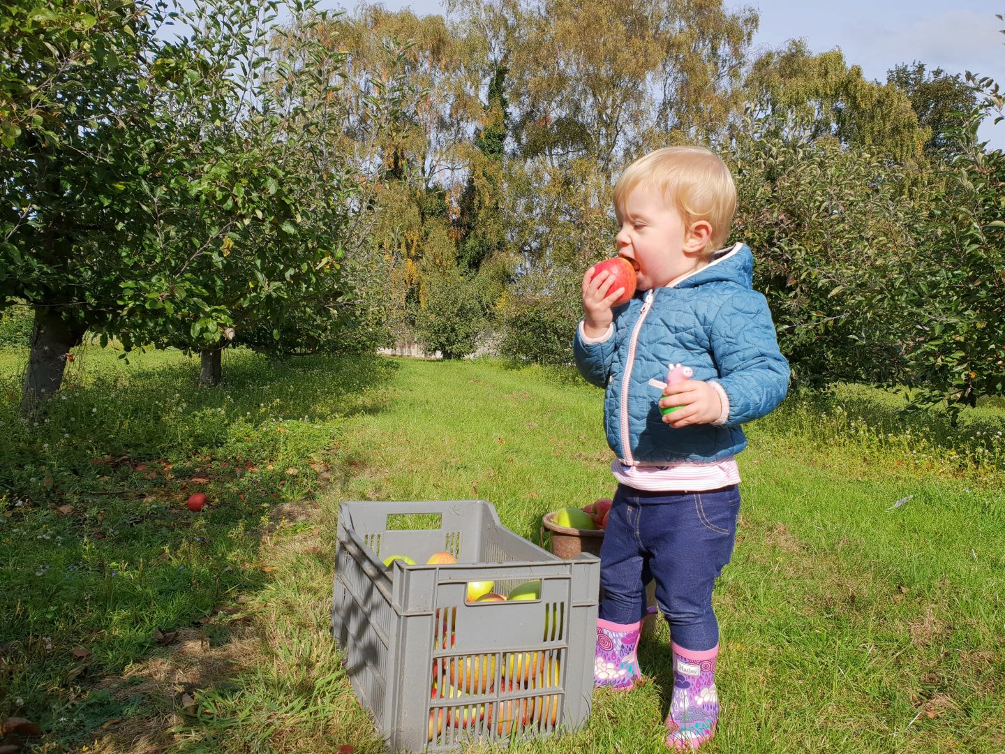 Toddler eating apple after apple picking at Foxendown Farm, Meopham, Kent