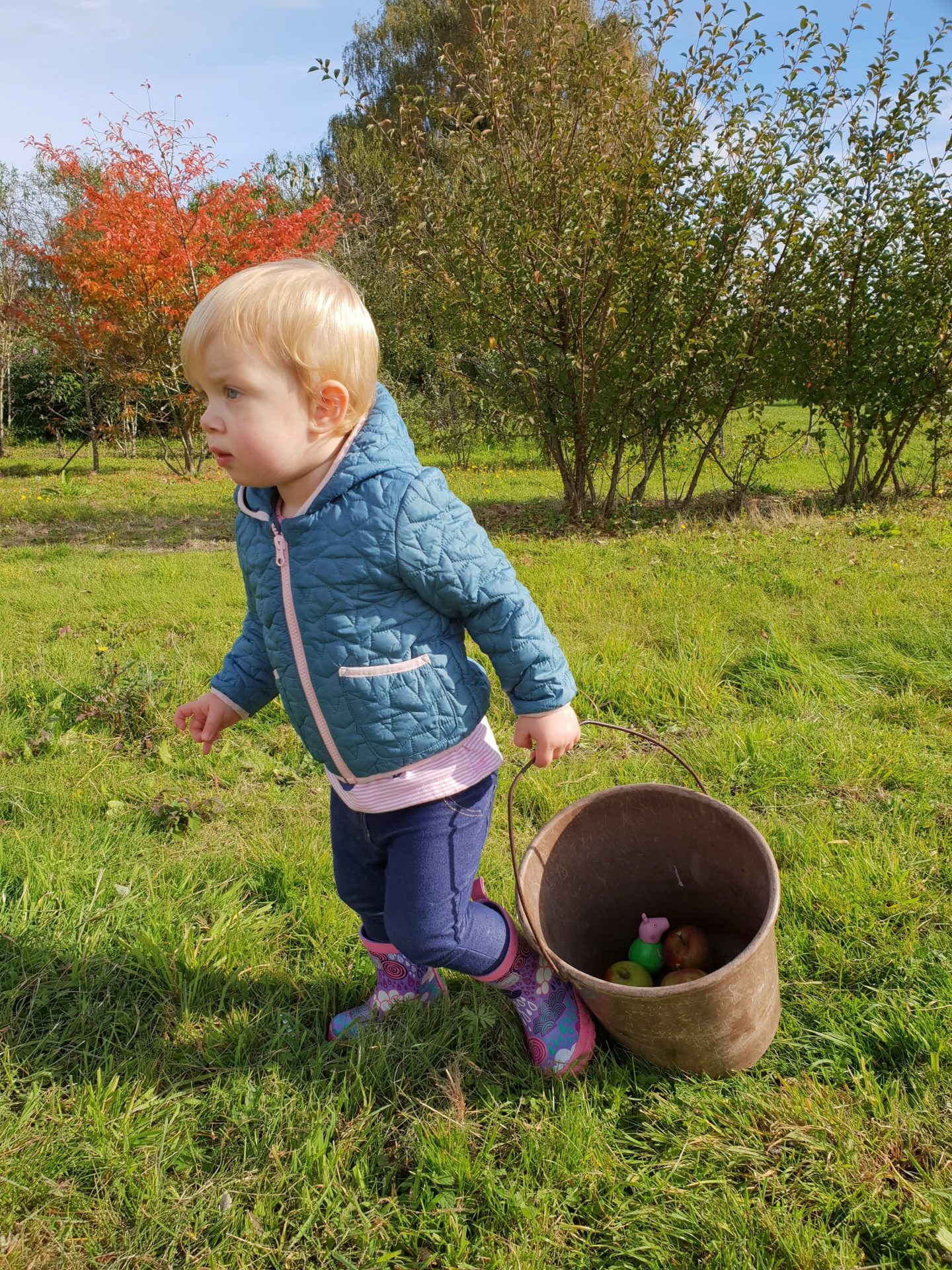 Toddler with bucket after apple picking in Meopham, Kent