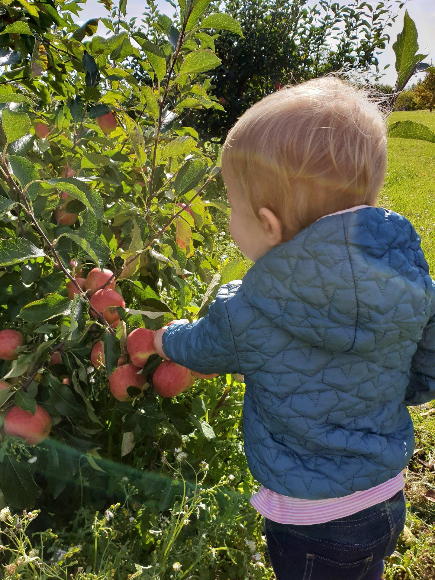 Toddler picking apples in Meopham Kent