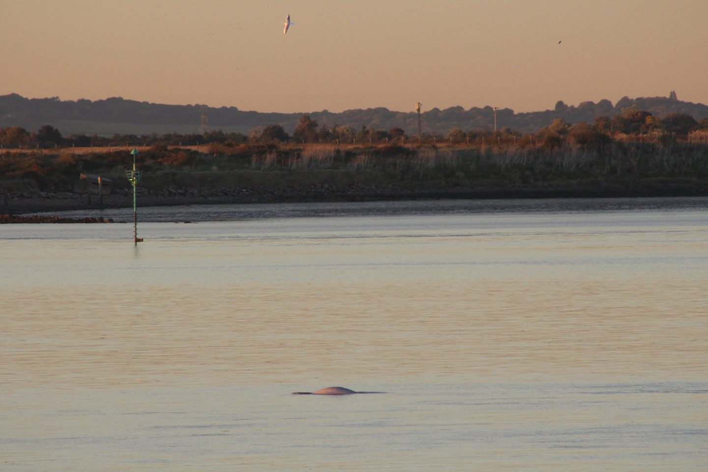 Benny the beluga whale in the Thames at Gravesend