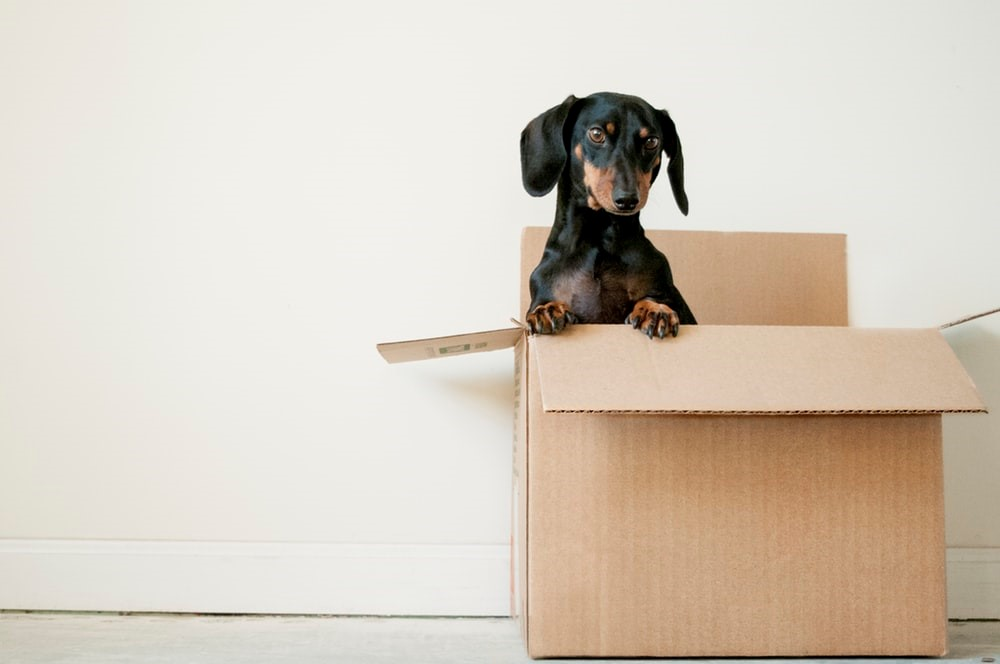 Dog in moving house box