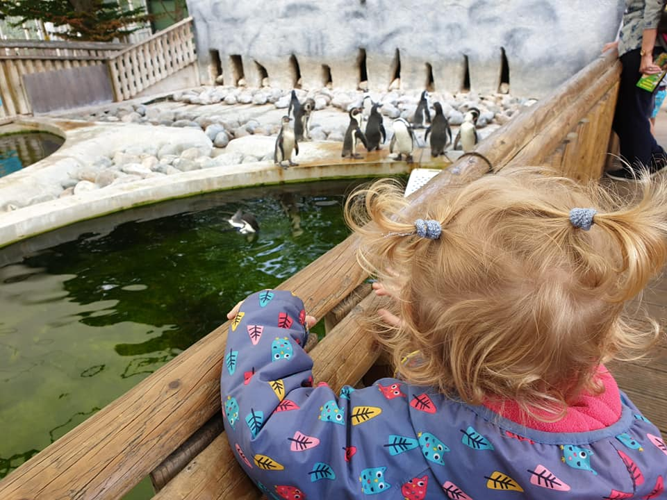 Toddler watching penguin feeding time at Wingham Wildlife Park in Kent