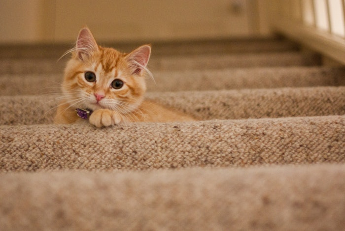 Pet cat on stairs carpet