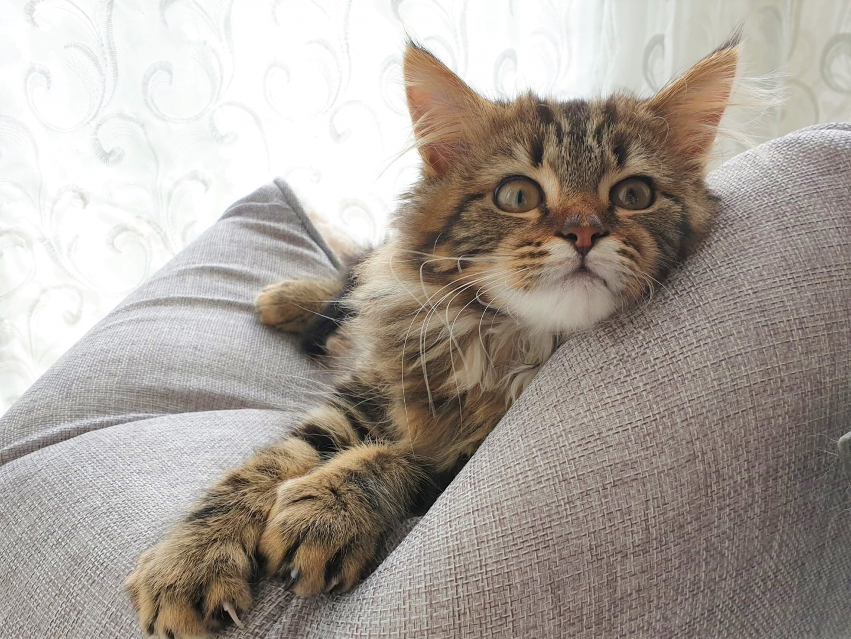 Tabby kitten lounging on cushion in window