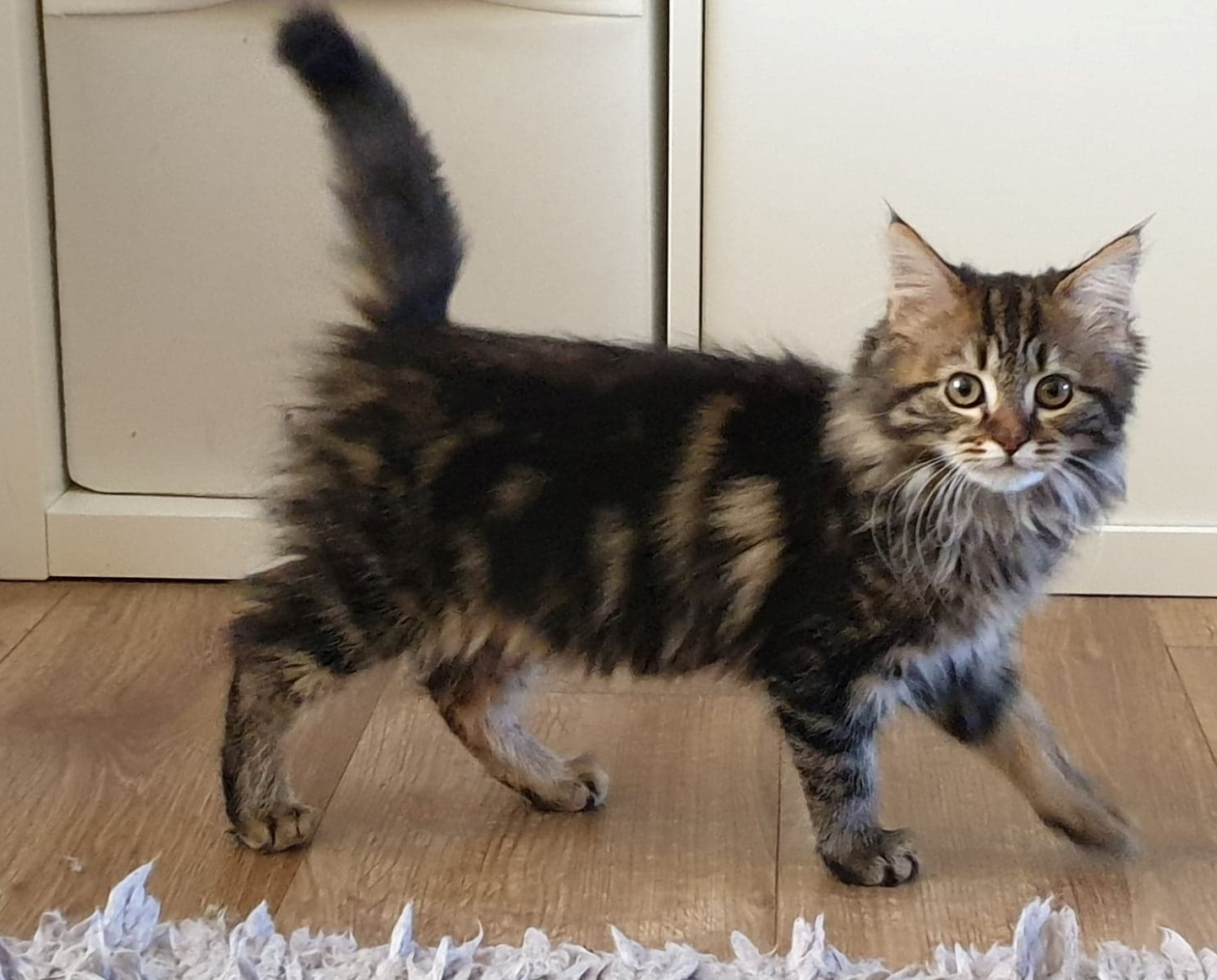 Tabby kitten adopted from Cats Protection