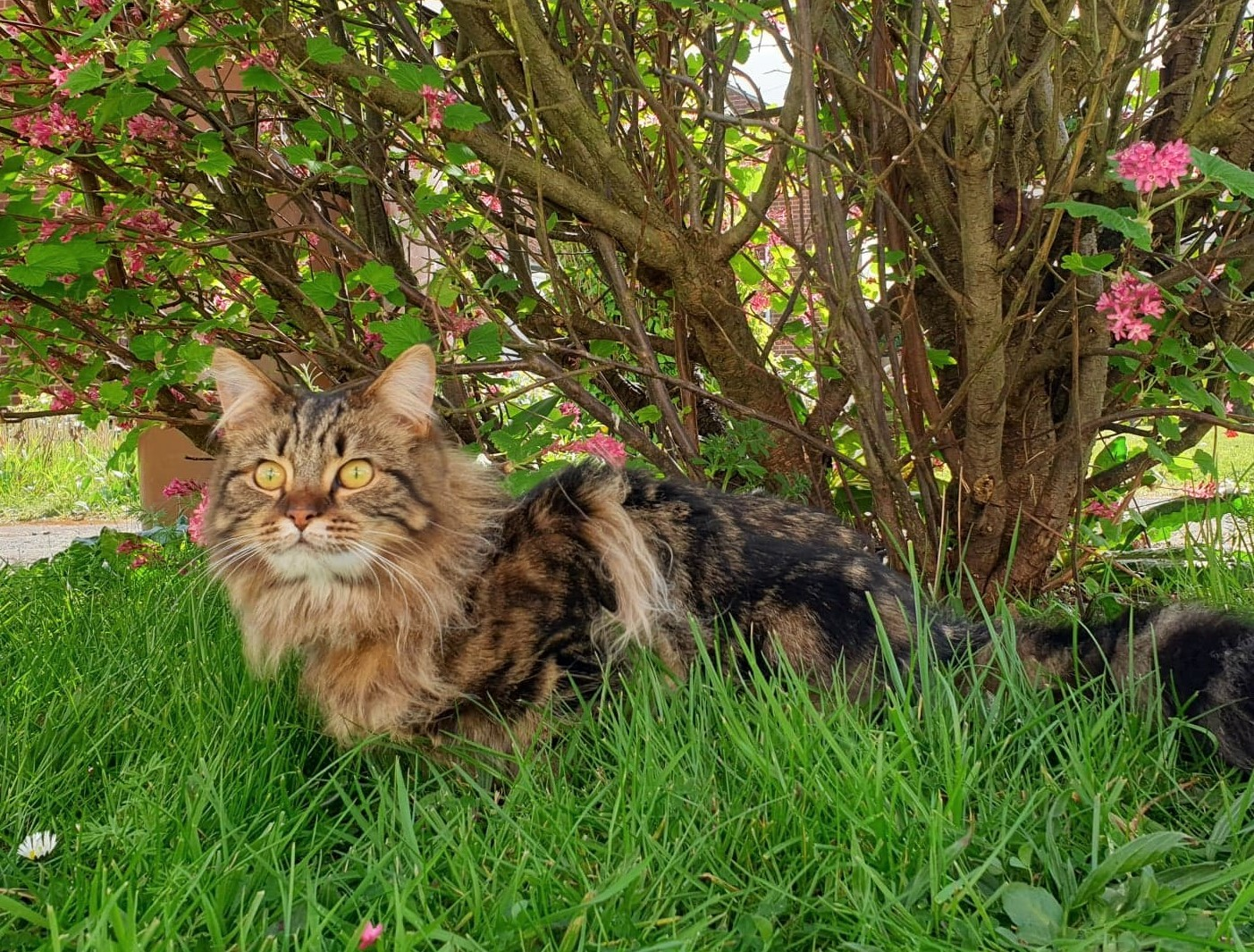 British medium hair tabby kitten