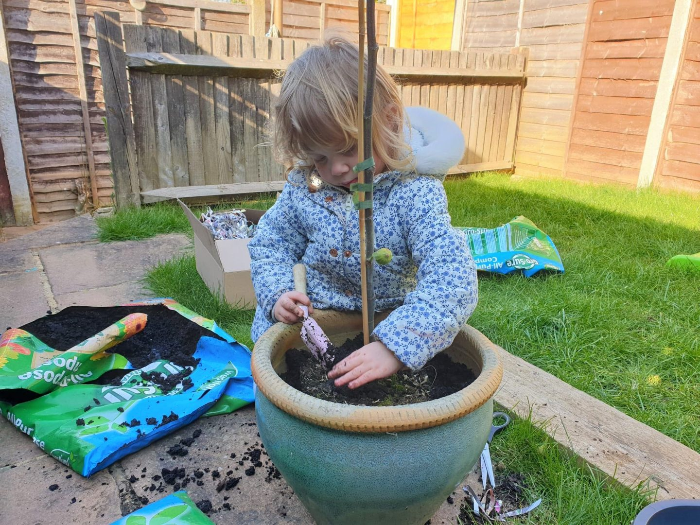 Toddler planting fig tree