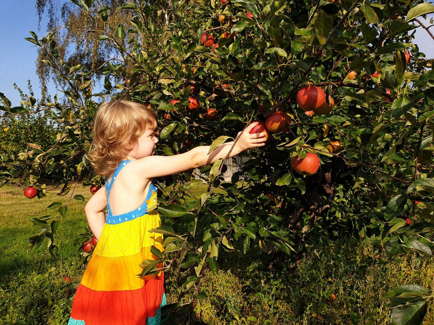 Picking apples in Meopham