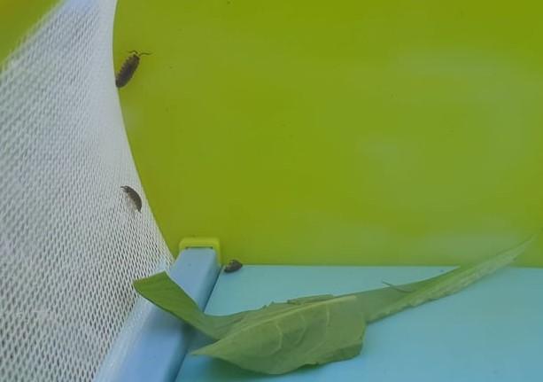 Cheesy bugs