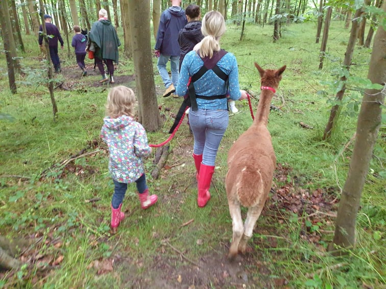 Walking Aubree at an alpaca trek at Lower Bush Alpacas, Cuxton, Kent